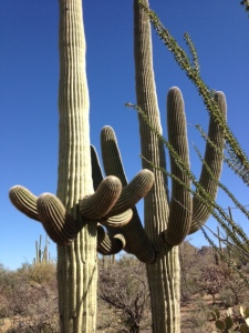 Saguaro couple