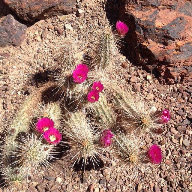 Hedgehop cacti flowers!